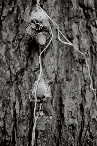 rose_buds_hanging_from_tree.jpg